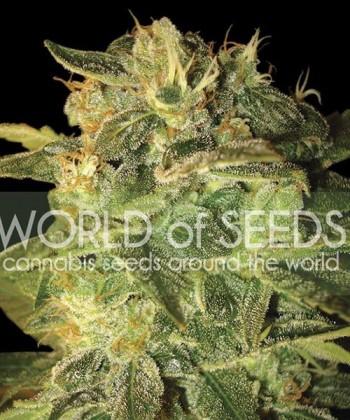 Comprar Sugar Mango Ryder Auto de World of Seeds