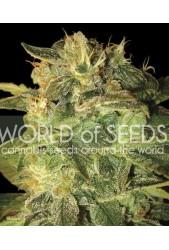 Sugar Mango Ryder Auto de World of Seeds