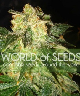 comprar Pakistan Ryder Auto de World of Seeds