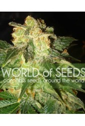 Pakistan Ryder Auto de World of Seeds