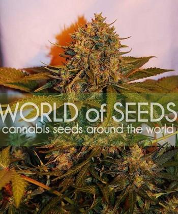 Comprar Northern Light x Big Bud Ryder Auto de World of Seeds