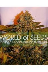 Northern Light x Big Bud Ryder Auto de World of Seeds