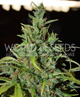 comprar Neville Haze Auto de World of Seeds