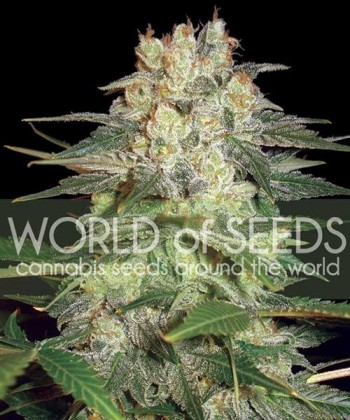 Comprar Afghan Kush Ryder Auto ( C.) de World of Seeds