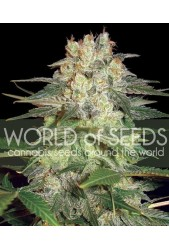 Afghan Kush Ryder Auto ( C.) de World of Seeds