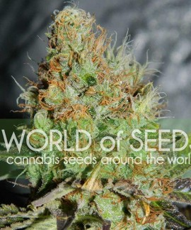comprar Afghan Kush Special (Legend Collection)