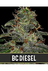 BC Diesel de Blimburn Seeds