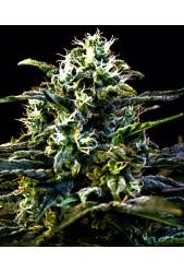 Mamba Negra de Blimburn Seeds