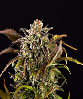 comprar Grizzly Purple Kush