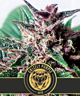 comprar Grizzly Purple Auto