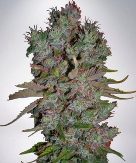 comprar Auto Blueberry Domina