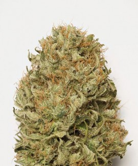 comprar Blue Dream Auto de Humboldt Seeds