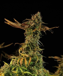 comprar Blueberry Headband de Humboldt Seeds
