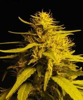 comprar Amnesia Haze de Nirvana Seeds
