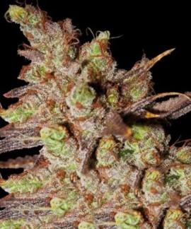 comprar Choco Bud