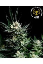 Critigal + de Absolute Cannabis Seeds