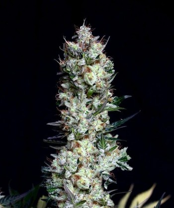 Comprar Rittus Haze de Absolute Cannabis Seeds