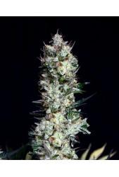 Rittus Haze de Absolute Cannabis Seeds