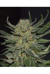 Domina de Cbd Seeds