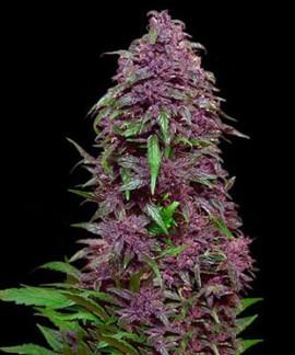 comprar Purple Mazar Auto