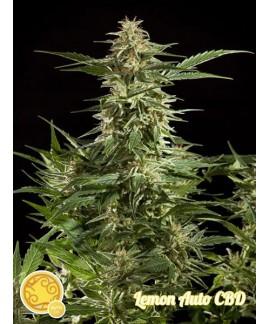 Lemon Auto CBD de Philosopher Seeds CBD