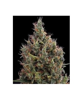 Semillas Cannabicas AMS de Green House Seeds