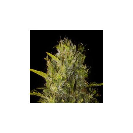 Semillas de maria Santa Muerte de Blimburn Seeds