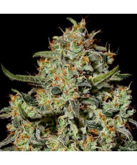Semillas Big Bang de Green House Seeds