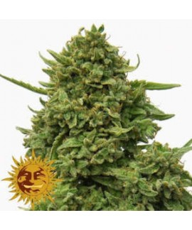 Pineapple Chunk de Barney's Farm