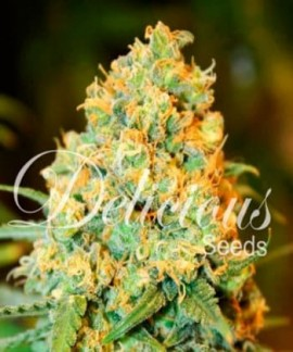 comprar Critical Super Silver Haze de Delicious Seeds