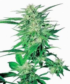 comprar Big Bud de Sensi Seeds