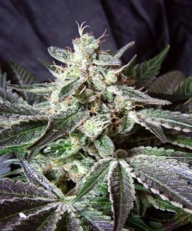 Black Jack de Sweet Seeds