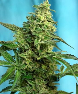 comprar Green Poison F1 Fast Version de Sweet Seeds