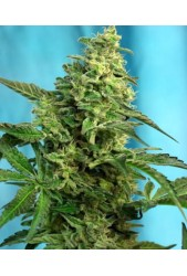 Green Poison F1 Fast Version de Sweet Seeds