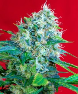 comprar Green Poison de Sweet Seeds