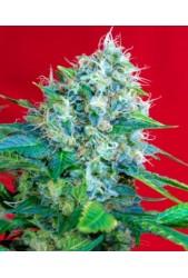 Green Poison de Sweet Seeds