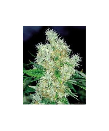 Comprar Power Flower de Royal Queen