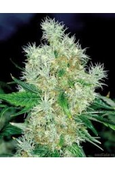 Power Flower de Royal Queen