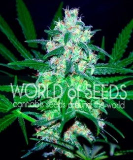 comprar Pakistan Valley (Pure Origin Collection) de World of Seeds