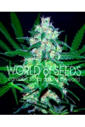 Pakistan Valley (Pure Origin Collection) de World of Seeds