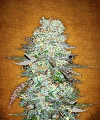 Comprar G14 de Fastbuds Seeds
