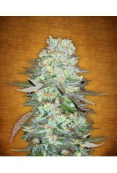 G14 de Fastbuds Seeds