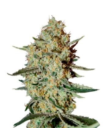 Himalaya Gold de Green House Seeds