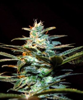 comprar Ice Cool de Sweet Seeds