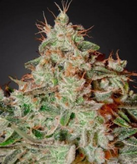 Lemon Skunk de Green House