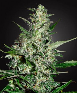 comprar Super Skunk
