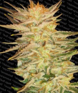 comprar Ice Cream de Paradise Seeds