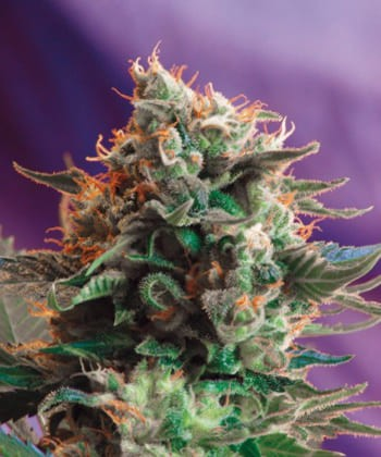 Jack 47 de Sweet Seeds