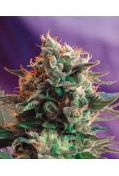 comprar Jack 47 de Sweet Seeds