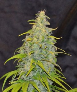 Destroyer de Cannabiogen Seeds